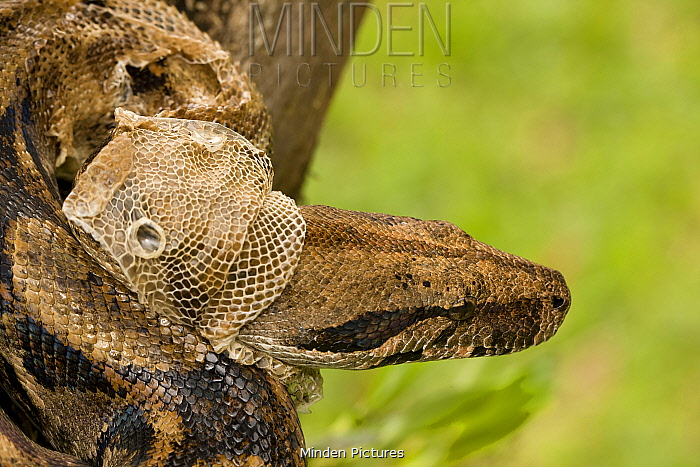 Boa Constrictor (Boa constrictor) shedding skin from head. Guanacaste National Park, Costa Rican tropical rainforest.