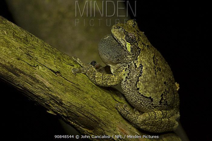 Grey tree frog (Hyla versicolor) calling, Ithaca, New York, May