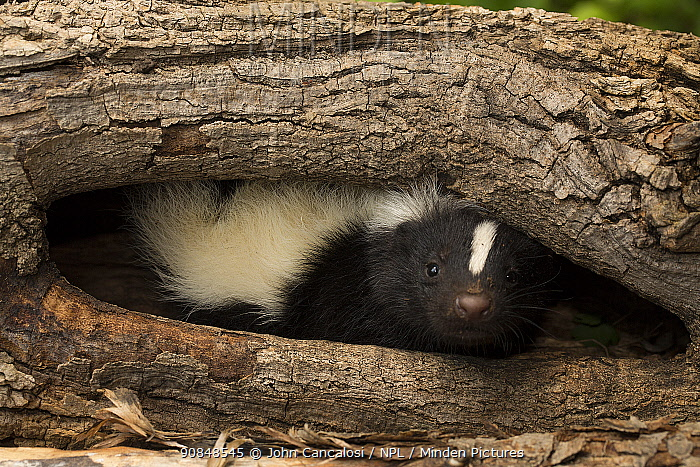 Striped skunk (Mephitis mephitis) in tree hollow, Ithaca, New York, May