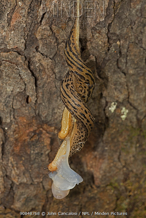 Leopard slug (Limax maximus) pair mating, white male organs exchanging sperm, hermaphroditic species, New York, USA, August.