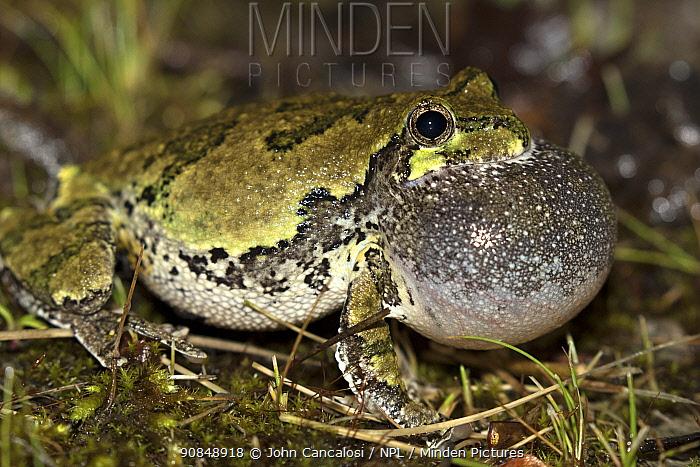 Grey treefrog (Hyla versicolor) male calling to attract females, New York, USA, June.