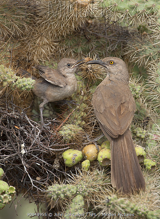 Curve-billed thrashers (Toxostoma curvirostre) parent with chick at nest in Cholla cactus (Opuntia) Sonoran desert Arizona, July