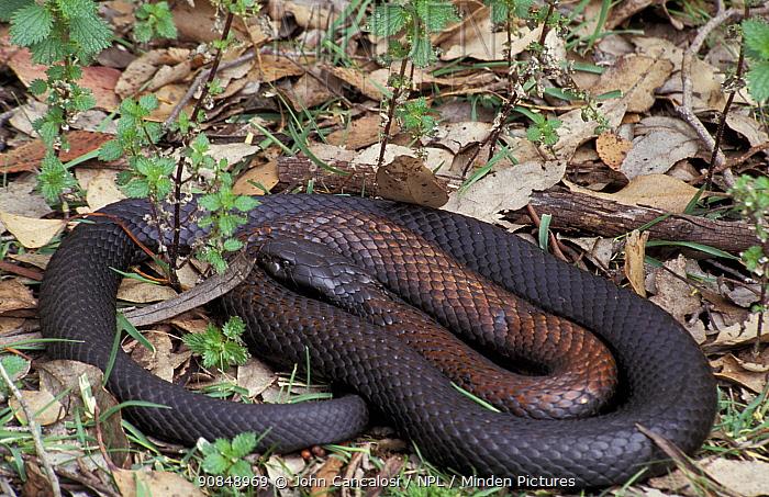 Black tiger snake (Notechis ater) Australia.
