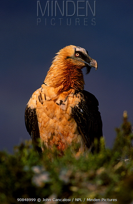 Lammergeier {Gypaetus barbatus} Spain