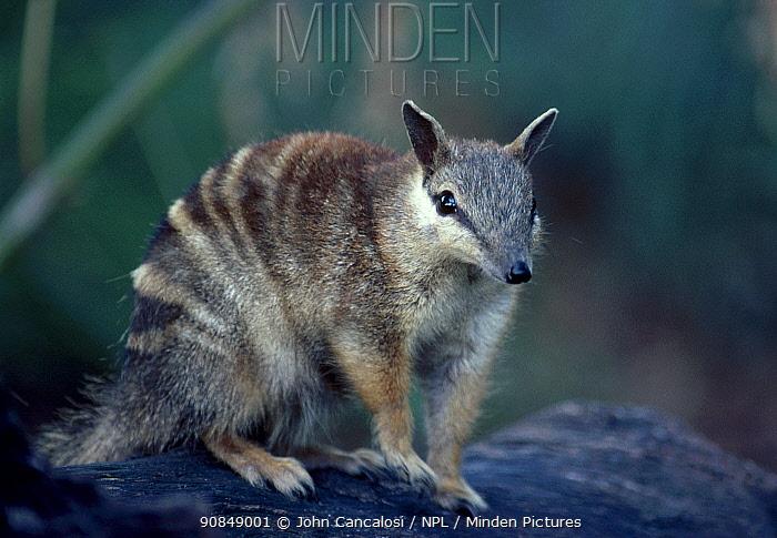 Female Numbat {Myrmecobius fasciatus} Australia, captive