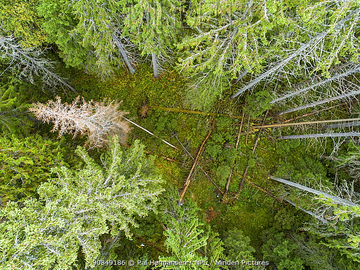 Aerial view of virgin coniferous forest before logging. Ski, Akershus, Norway. Sequence 1/2.