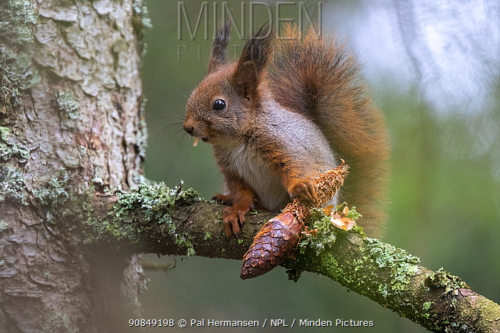Red squirrel (Sciurus vulgaris) feeding on conifer cone in tree. Akershus, Norway. April.