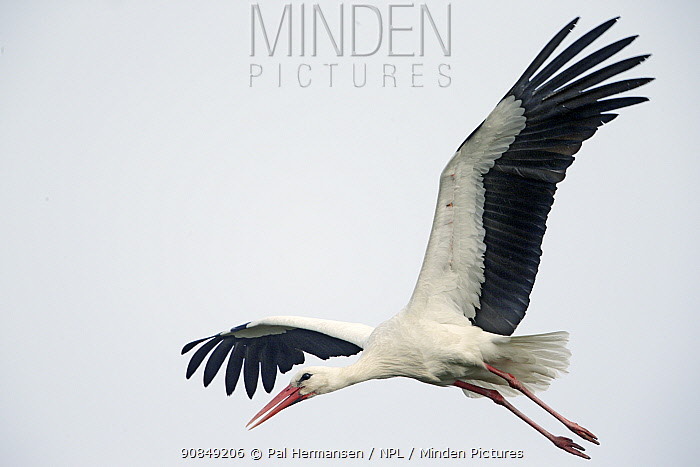 RF - Stork (Ciconia ciconia) in flight, near Biebrza National Park, Poland. April. (This image may be licensed either as rights managed or royalty free.)