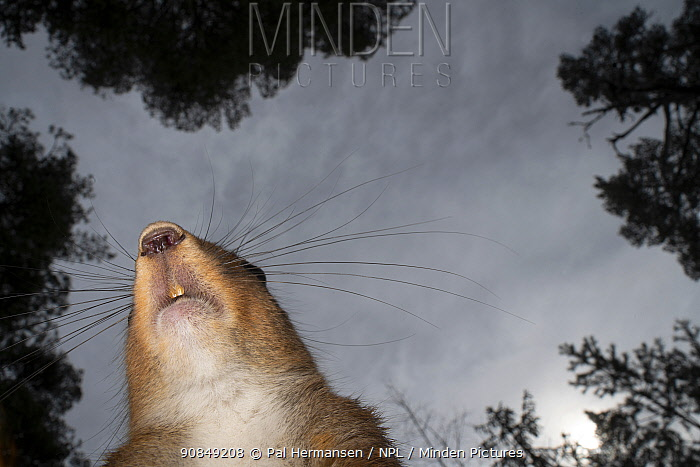 RF - Red squirrel (Sciurus vulgaris) against sky, view from below. Akershus, Viken, Norway. April. (This image may be licensed either as rights managed or royalty free.)