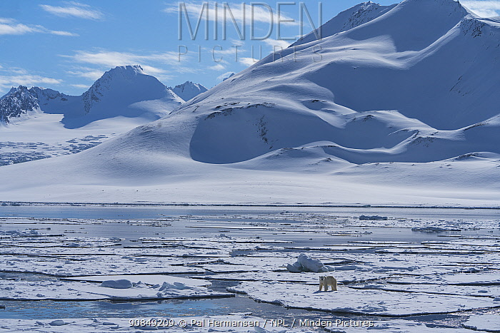 RF - Polar bear (Ursus maritimus) on sea ice. Hornsund, South Spitsbergen National Park, Svalbard, Norway. May 2018. (This image may be licensed either as rights managed or royalty free.)