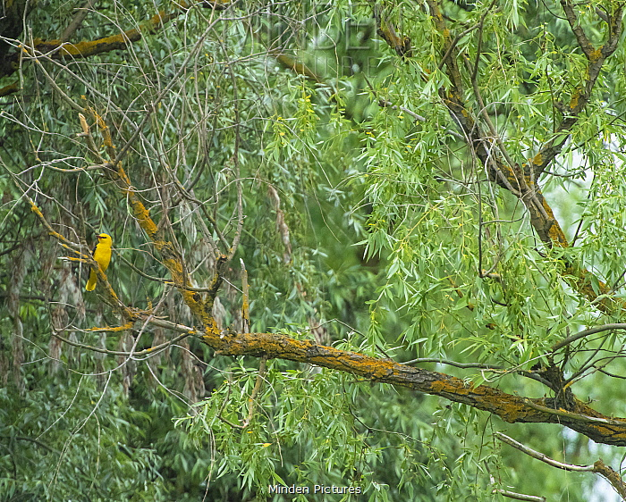 Golden oriole (Oriolus oriolus) perched in Willow (Salix sp) tree. Danube delta, Romania. May.