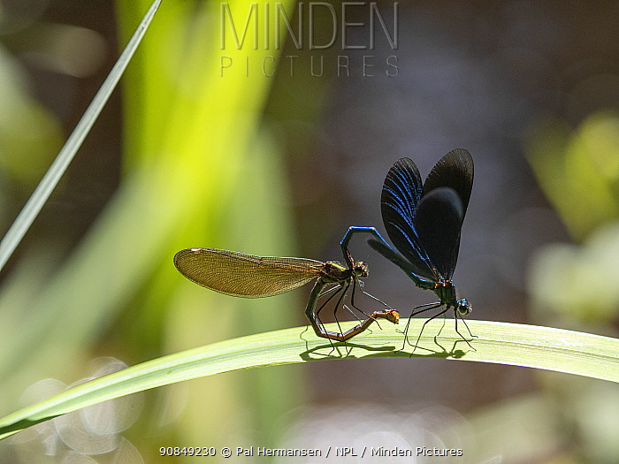 Beautiful demoiselle (Calopteryx virgo) pair before mating, moving into mating wheel. Akershus, Viken, Norway. June. Sequence 4/5.