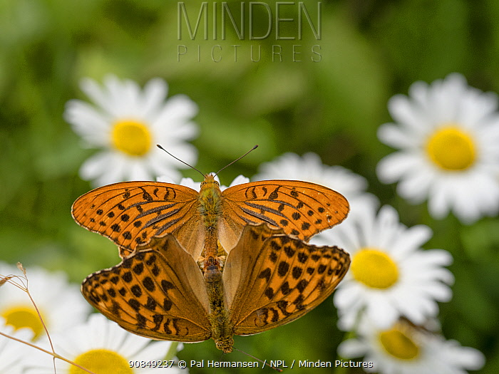 Silver-washed fritillary butterfly (Argynnis paphia) pair mating amongst Oxeye daisy (Leucanthemum vulgare) flowers. Ski, Viken, Norway. July.