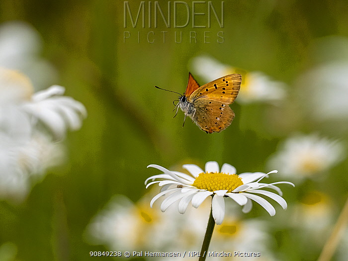 Scarce copper butterfly (Lycaena virgaurae) in flight in meadow, over Oxeye daisy (Leucanthemum vulgare). Akershus, Viken, Norway. July.