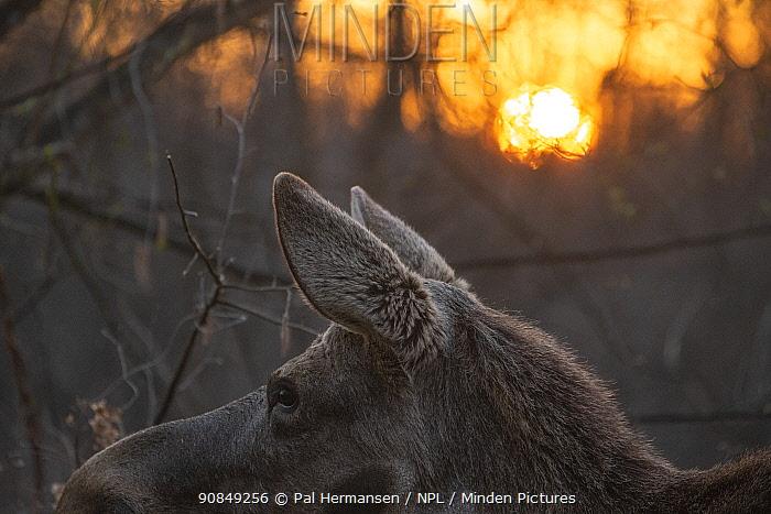 Moose (Alces alces) at sunrise. Biebrza National Park, Poland. April.