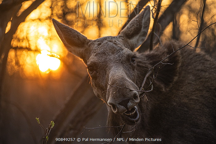 Moose (Alces alces) feeding at sunrise. Biebrza National Park, Poland. April.