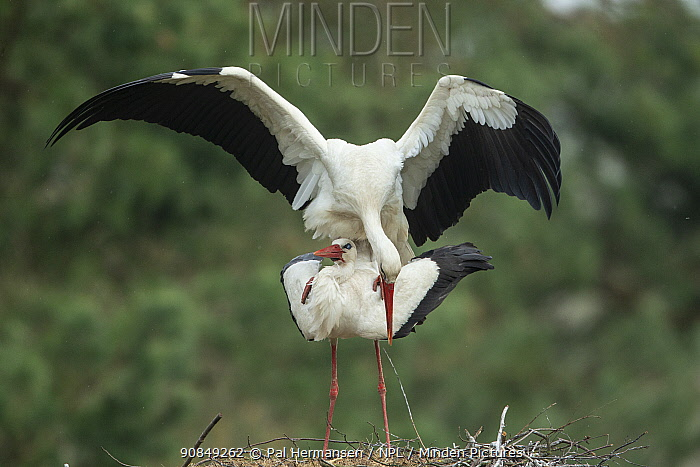 Stork (Ciconia ciconia) pair mating. Poland. April.