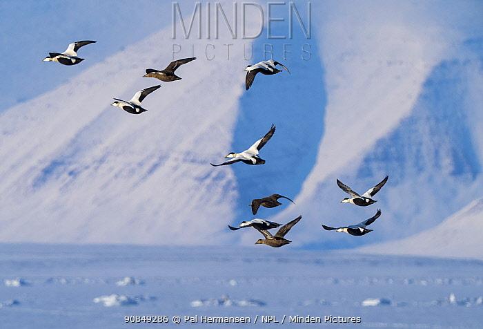 Eider duck (Somateria mollissima) flock in flight over frozen sea. Isfjorden, Svalbard, Norway. April 2018.