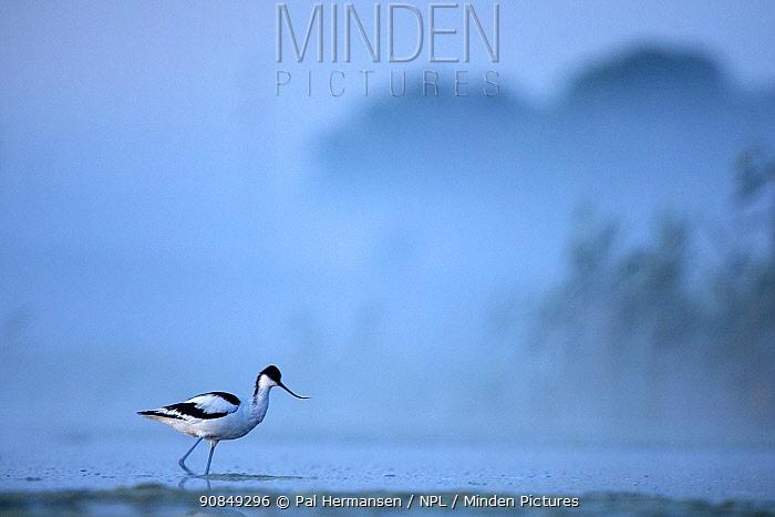 Pied avocet (Recurvirostra avosetta) wading in river in morning mist. Danube delta, Romania. May.