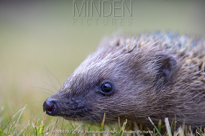 Hedgehog (Erinaceus europaeus) aged two months, portrait. Akershus, Viken, Norway. July.