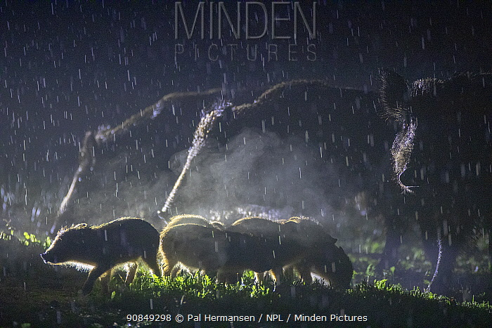 Wild boar (Sus scrofa), three with piglets in rain, at night. South Sweden. May.