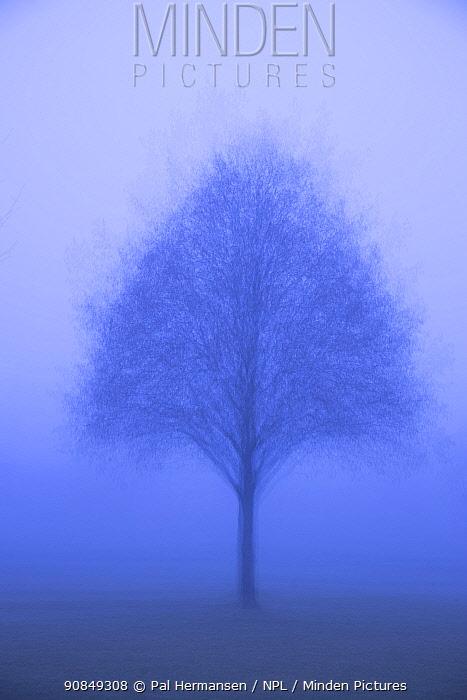 Tree in fog. Akershus, Viken, Norway. November. Multiple exposure.