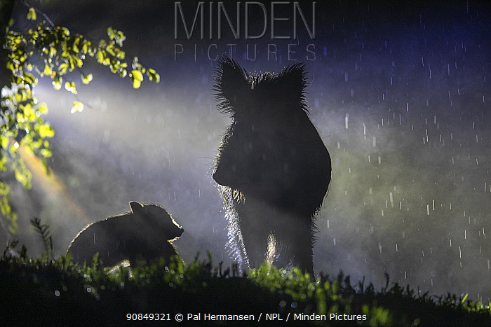 Wild boar (Sus scrofa) sow with piglet, silhouetted in rain at night. South Sweden. May.