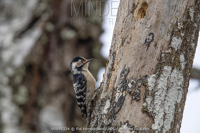Lesser spotted woodpecker (Dendrocopos minor) feeding on tree trunk. Akershus, Viken, Norway. April.