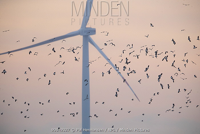 Wind turbine creating a hazard for migrating waders such as these Lapwing (Vanellus vanellus). North Frisia, Germany. November 2019.