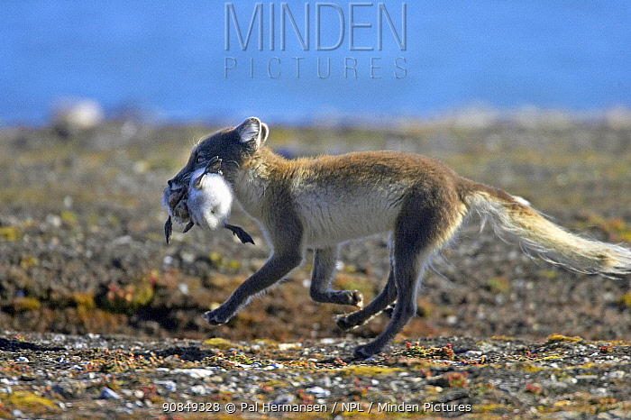 Arctic fox (Vulpes lagopus) running with Gosling in mouth. Svalbard, Norway. July.