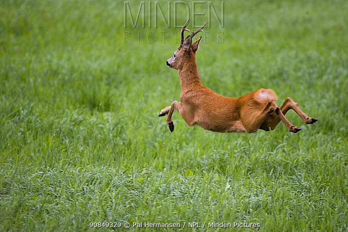 Roe deer (Capreolus capreolus) buck in mid-air, running away. Akershus, Viken, Norway. August.