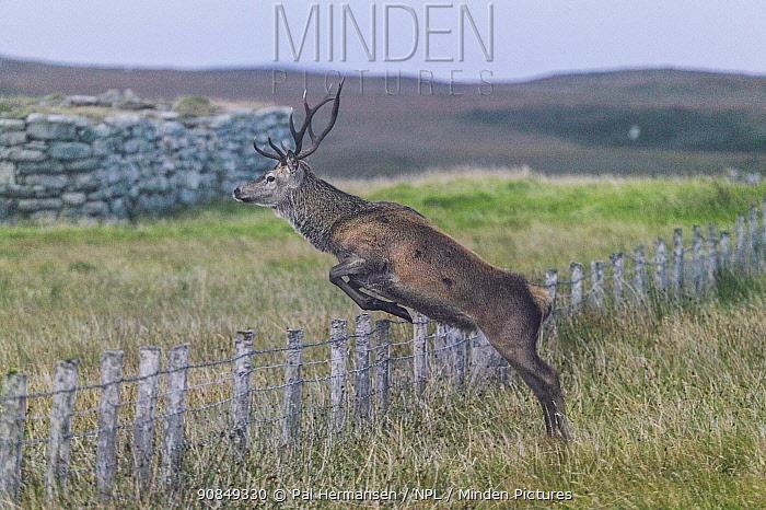 Red deer (Cervus elaphus) stag jumping over fence on moorland. Scotland, UK. August 2004.