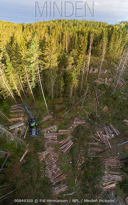Logging operations with harvester and log piles in Spruce forest, aerial view. Akershus, Viken, Norway. August 2019.