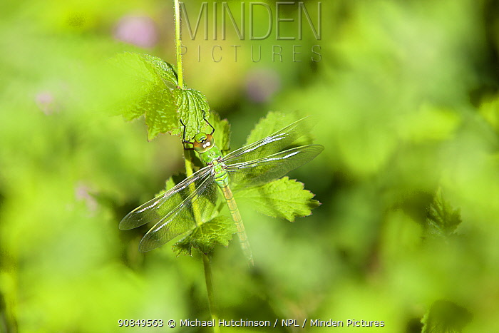 Emperor dragonfly (Anax imperator) teneral - or recently moulted adult amongst foliage, Bristol, UK, May