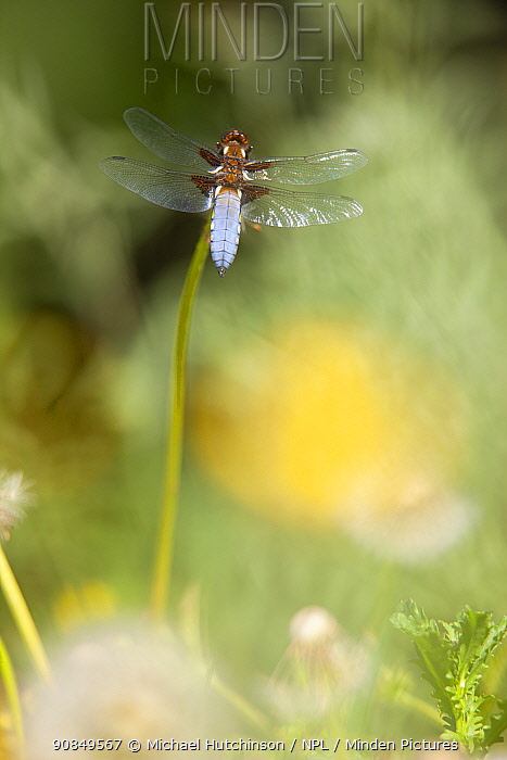 Broad-bodied chaser dragonfly (Libellula depressa) perched on dandelion stem in meadow, Bristol, UK, May
