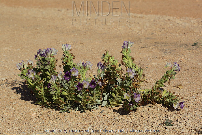Henbane (Hyoscyamus gallagheri), in flower, Shelim, Oman, February
