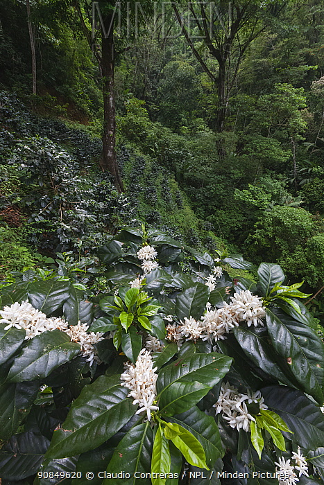 Coffee plantation in flower, Finca Nueva Linda, El Triunfo Biosphere Reserve, Chiapas, southern Mexico, April