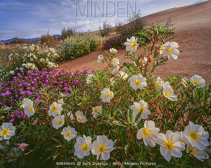 White birdcage evening primrose (Oenothera deltoides), sand verbena (Abronia villosa) and sand sunflowers (Helianthus niveus). Sonora, Mexico.
