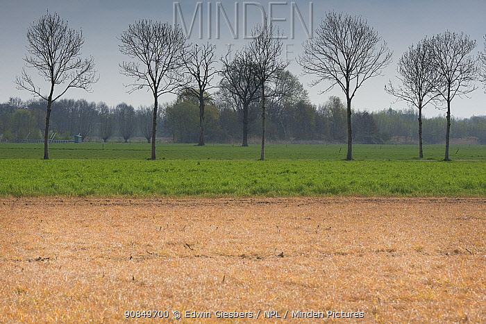 Field treated with glyphosate weedkiller to reset field in preparation for replanting, untreated field with trees in background. Veghel, North Brabant, The Netherlands, March 2019.