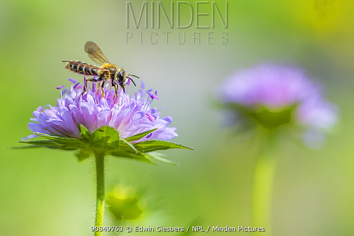 Large scabious mining bee (Andrena hattorfiana) on Scabious. The Netherlands. June.
