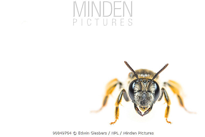 Large scabious mining bee (Andrena hattorfiana). The Netherlands. April. Controlled conditions.