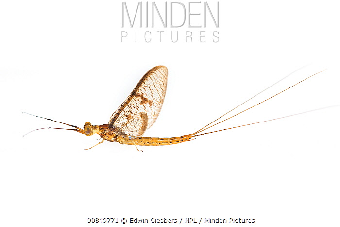 Mayfly (Ephemera glaucops). The Netherlands. May. Controlled conditions.