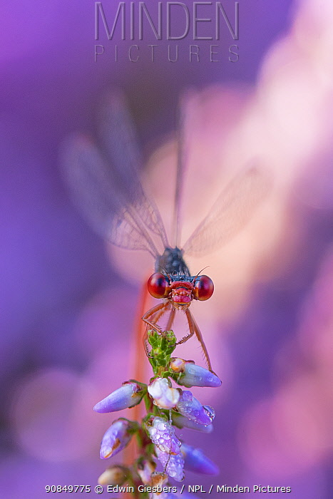 Small red damselfly (Ceriagrion tenellum) resting on Heather flower. The Netherlands. August.
