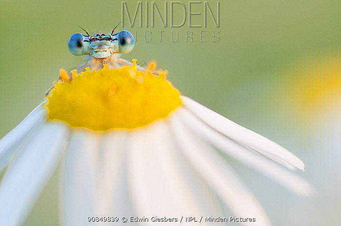 RF - White-legged damselfly (Platycnemis pennipes) peering over Oxeye daisy (Leucanthemum vulgare) flower. The Netherlands. August. (This image may be licensed either as rights managed or royalty free.)