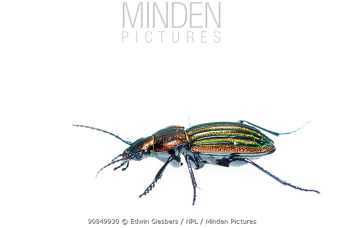 Ground beetle (Carabus nitens). Dwingelderveld National Park, The Netherlands. April. Controlled conditions.
