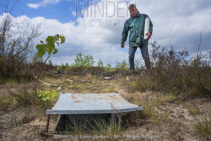 Pitfall trap used for weekly trapping of Ground beetles (Carabidae), researcher approaching in background. Long-term monitoring. has revealed a 72 percent reduction in Ground beetle numbers in past 22 years. Dwingelderveld National Park, The Netherlands. May 2018. Model released.