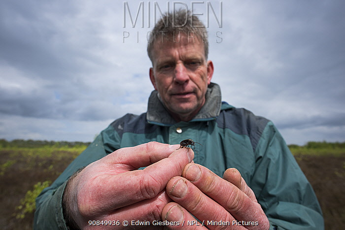 Researcher holding Ground beetle (Carabidae) , caught in weekly trapping. Long-term monitoring. has revealed a 72 percent reduction in Ground beetle numbers in past 22 years. Dwingelderveld National Park, The Netherlands. May 2018. Model released.
