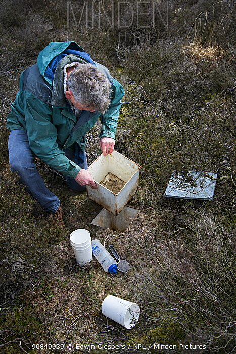Researcher emptying Ground beetles (Carabidae) from pitfall trap. Long-term monitoring has revealed a 72 percent reduction in Ground beetle numbers in past 22 years. Dwingelderveld National Park, The Netherlands. March 2019. Model released.