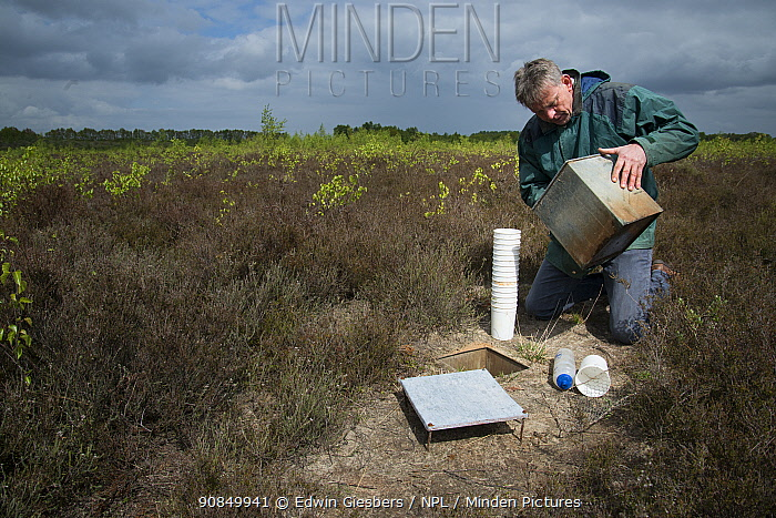 Researcher emptying pitfall trap used to collect Ground beetles (Carabidae). Long-term monitoring has revealed a 72 percent reduction in Ground beetle numbers in past 22 years. Dwingelderveld National Park, The Netherlands. March 2019. Model released.