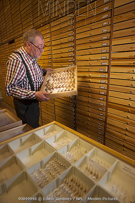 Entomologist looking at pinned Moth (Lepidoptera) specimens in collection. Nature Museum Brabant, Tilburg, The Netherlands. 2019.